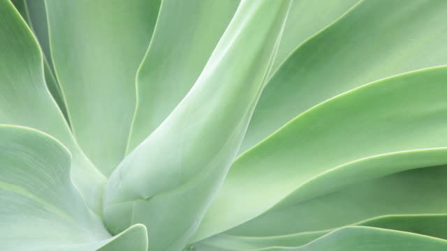 leafs of agave plant - isola di kauai video stock e b–roll