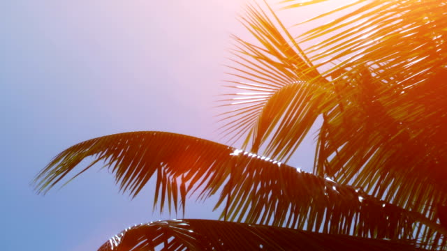 leafs of palm tree - tropical tree stock videos & royalty-free footage
