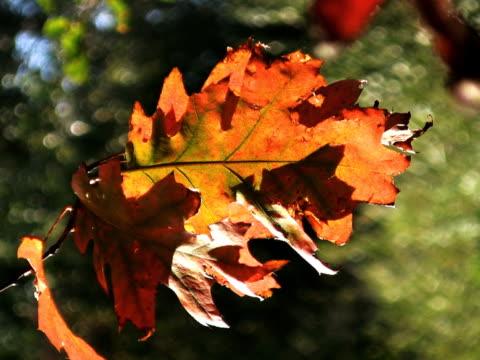vidéos et rushes de pal : leafs - arbre à feuilles caduques