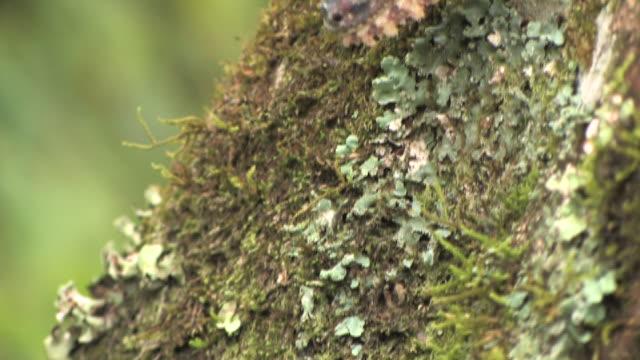 vidéos et rushes de cu, tu, leaf-tailed gecko (uroplatus fimbriatus) camouflaged on mossy tree trunk, toamasina province, madagascar - camouflage
