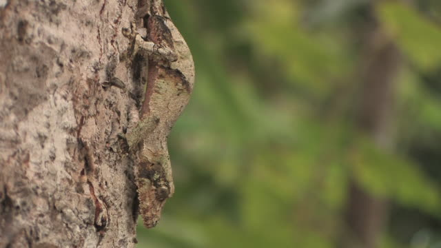 cu, leaf-tailed gecko (uroplatus fimbriatus) camouflaged on tree trunk, toamasina province, madagascar - camouflage stock videos & royalty-free footage