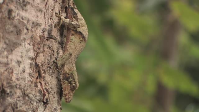 vidéos et rushes de cu, leaf-tailed gecko (uroplatus fimbriatus) camouflaged on tree trunk, toamasina province, madagascar - survie