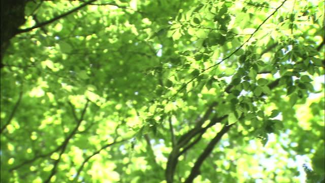 vídeos de stock, filmes e b-roll de leafy beech trees grow in a japanese forest. - faia árvore de folha caduca