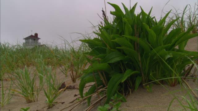 ms, leafy green plant and grass on sand dune, building in background, eastham, massachusetts, usa - オオハマガヤ属点の映像素材/bロール