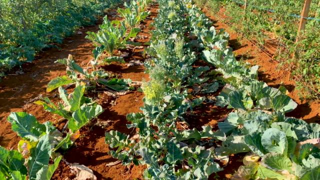 leafy greens growing on organic farm - freshness stock videos & royalty-free footage