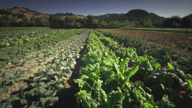 ms pov leafy greens in field in organic farm / langlois, oregon, united states - kale stock videos and b-roll footage