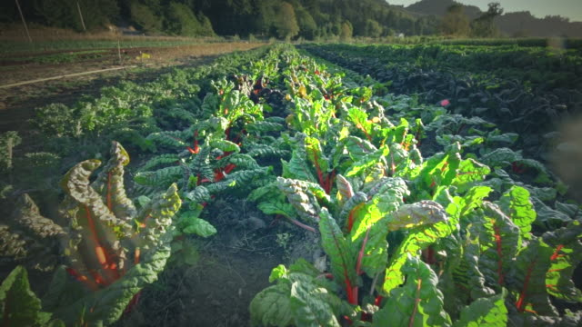 ms pov leafy greens in field in organic farm / langlois, oregon, united states - leaf vegetable stock videos & royalty-free footage