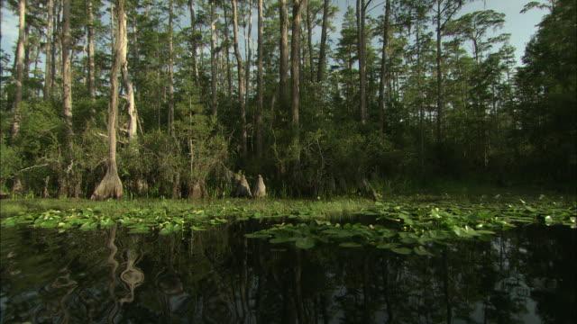 leafy plants float on water in the okefenokee swamp. - オケフェノキー国立野生生物保護区点の映像素材/bロール