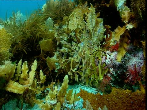 leafy sea dragon drifts in current, kangaroo island, tasmania - male animal stock videos & royalty-free footage