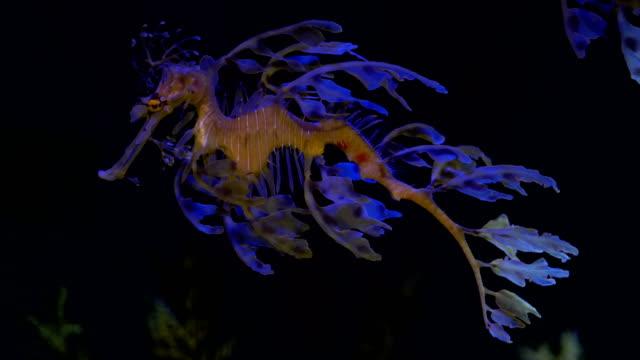 Lommerrijke Seadragon Seahorse zwemmen