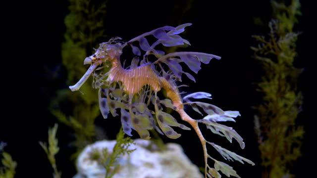 Leafy Seadragon Seepferdchen schwimmen