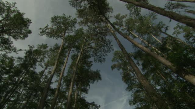 leafy trees tower in a forest. - オケフェノキー国立野生生物保護区点の映像素材/bロール