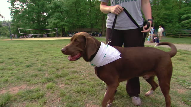 MS Leashed Chocolate Lab mix standing in park / Arlington, Virginia, United States