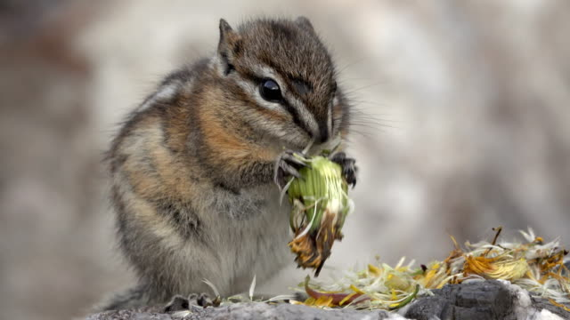 least chipmunk eats flower seeds stone mountain provincial park british columbia canada - chipmunk stock videos & royalty-free footage