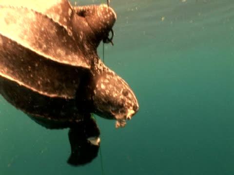 Leatherback turtle (Dermochelys coriacea) caught on hunters rope, zoom in to head, Kei Islands, Indonesia