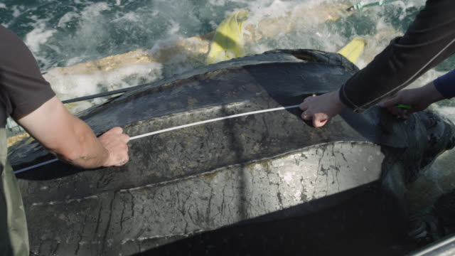 leatherback turtle on research vessel, canada - tape measure stock videos & royalty-free footage
