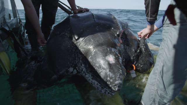 """leatherback turtle on research vessel, canada - """"bbc natural history"""" stock videos & royalty-free footage"""