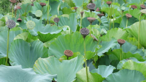 leaves and seeds of lotus  in the wind, in the kamakura,japan of ancient capital. - shrine stock videos & royalty-free footage