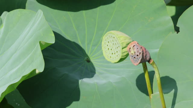 leaves and seeds of lotus leafy in the wind, in the ancient capital of japan in kamakura - shinto shrine stock videos & royalty-free footage