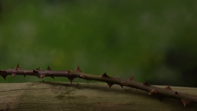 Leaves and shoots sprout from a rose stem growing over pergola. Available in HD.