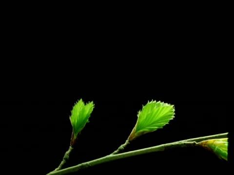 t/l leaves - bcu stem of beech tree leaf buds opening, black background - 枝点の映像素材/bロール