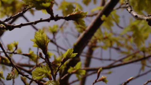 leaves bud on an oak tree. available in hd. - bud stock videos & royalty-free footage