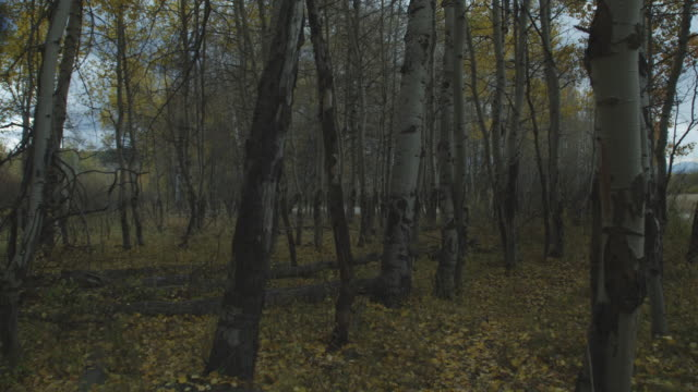 Leaves drift to the ground in a birch forest.