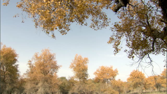 Leaves fall from Poplar trees, Lop Nur reserve, China.