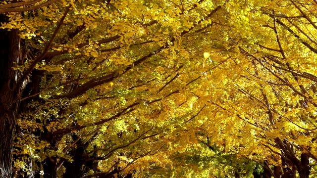 blätter herbst in gelbe tunnel von ginkgo-bäumen - ginkgobaum stock-videos und b-roll-filmmaterial