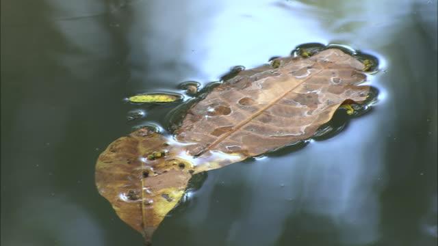 vídeos de stock, filmes e b-roll de leaves float on a stream. - tensão de superfície
