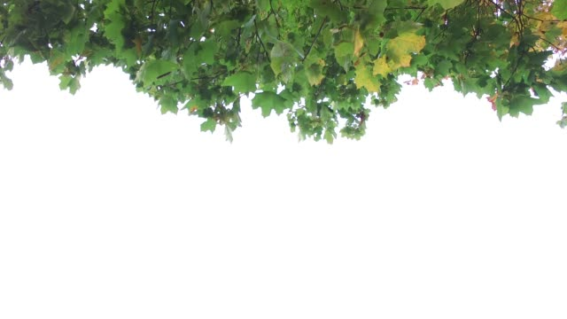 leaves isolated on white background - branch stock videos & royalty-free footage