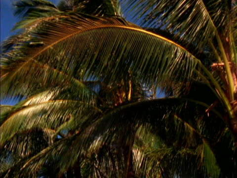 leaves of a palm tree swaying in the breeze. - swaying stock videos & royalty-free footage