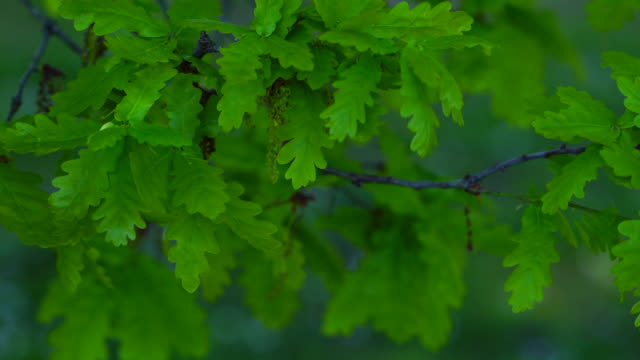 leaves of a quercus robur, commonly known as pedunculate oak or english oak, oak - roble albar, cantabrian sea, liendo, cantabria, spain, europe - oak tree stock videos and b-roll footage