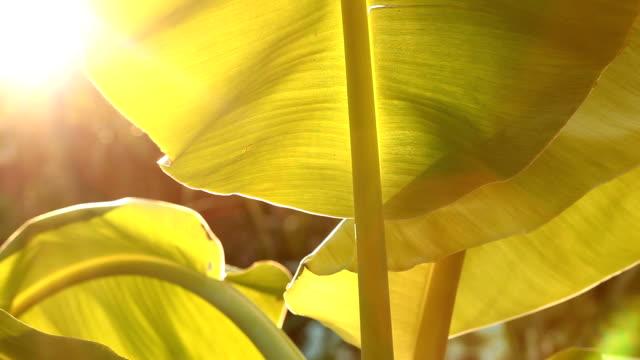 葉のバナナの木。