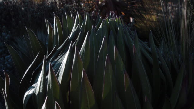 Leaves of giant lobelia unfurl at sunrise, Mount Kenya