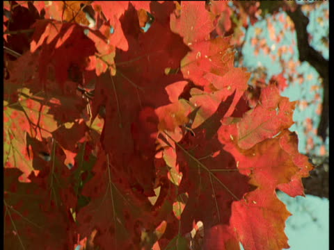 leaves of red oak move in autumn breeze, usa - 落葉樹点の映像素材/bロール