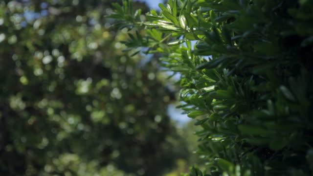 Leaves on a bush in a gentle breeze