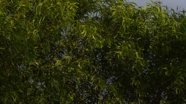 leaves on tree sway in breeze, australia. - swaying stock videos & royalty-free footage