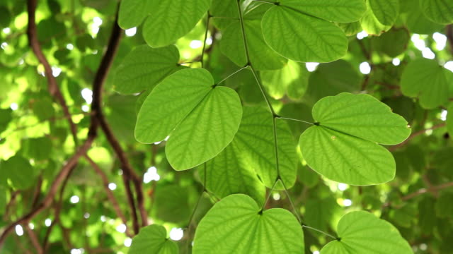 leaves on tropical tree - tropical tree stock videos & royalty-free footage