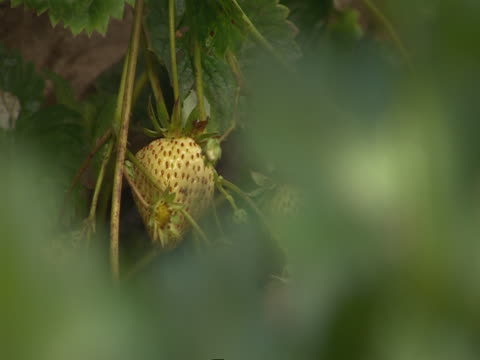 leaves quake around an unripe strawberry. - unripe stock videos and b-roll footage