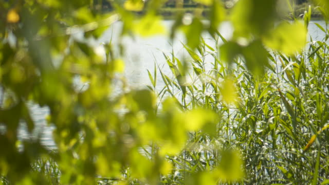 leaves reed and lake - reed grass family stock videos and b-roll footage