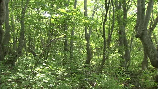 leaves tremble on the japanese beech trees in mount chokai in japan. - 鳥海山点の映像素材/bロール