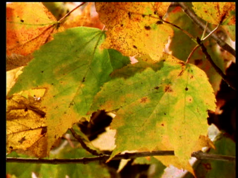 Leaves turn from green to yellow in autumn