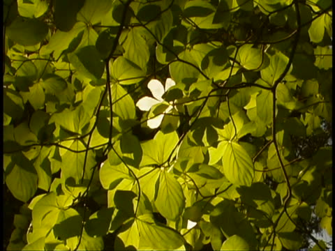 vídeos de stock e filmes b-roll de leaves - cornus