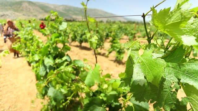 Lebanese vineyard and workers near Syrian / Lebanon border