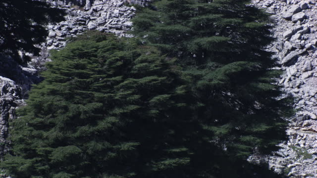lebanon : cedars of lebanon - cedar stock videos & royalty-free footage