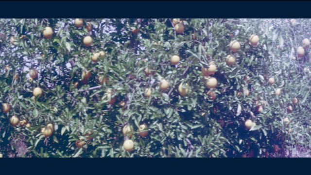 1968 lebanon - lush orange and lemmon orchard - orchard stock videos and b-roll footage