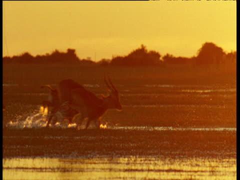 Lechwe leap through Bangweulu swamp in golden light