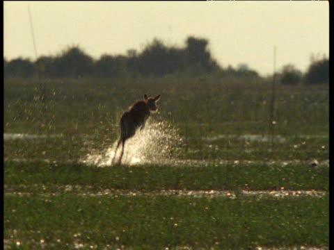Lechwe leaps and splashes through Bangweulu swamp