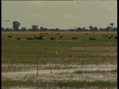 Lechwe walk through Bangweulu swamp